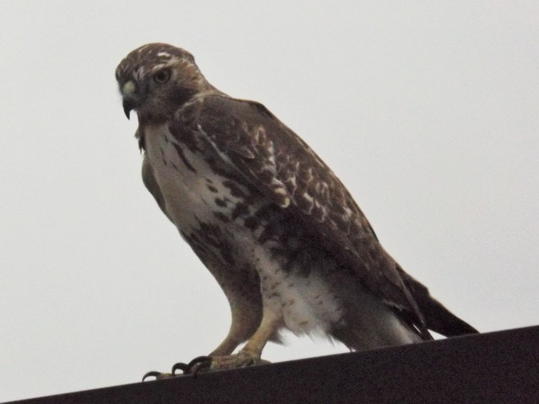 Red Tail Hawk 2