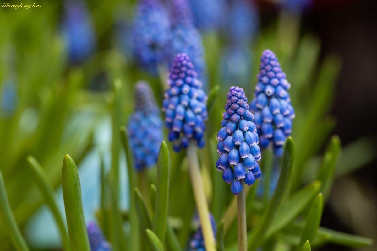 Grape Hyacinth Closeup