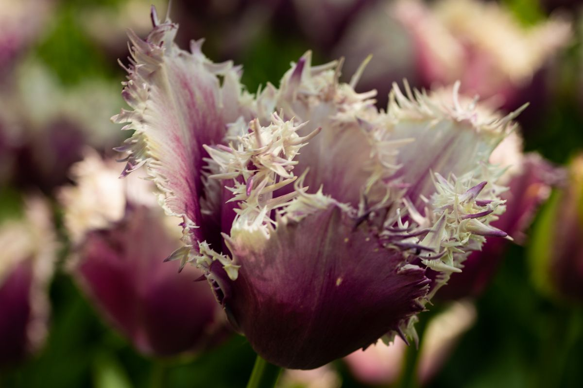 Tulip with Thorn :)