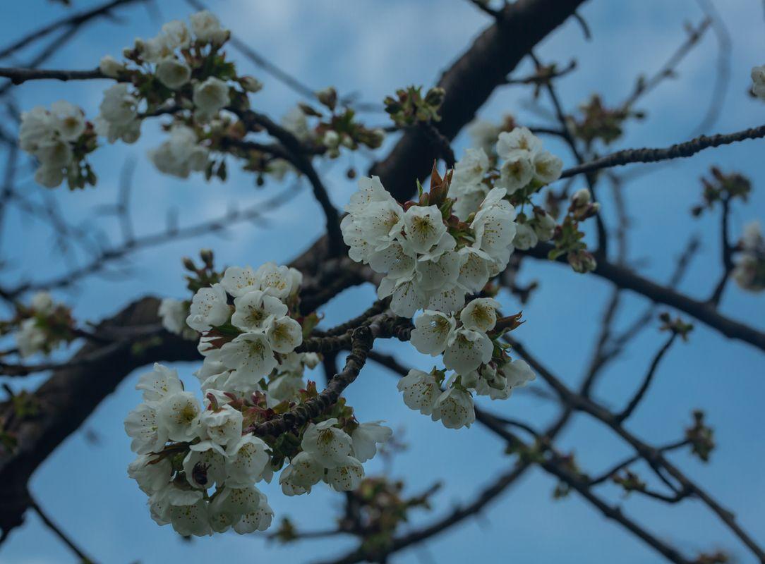 Cherry Blossoms Against Blue Sky