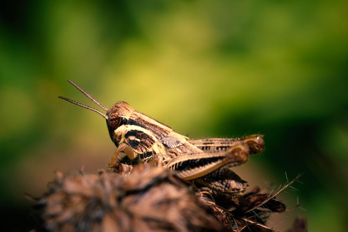 Grasshopper Season