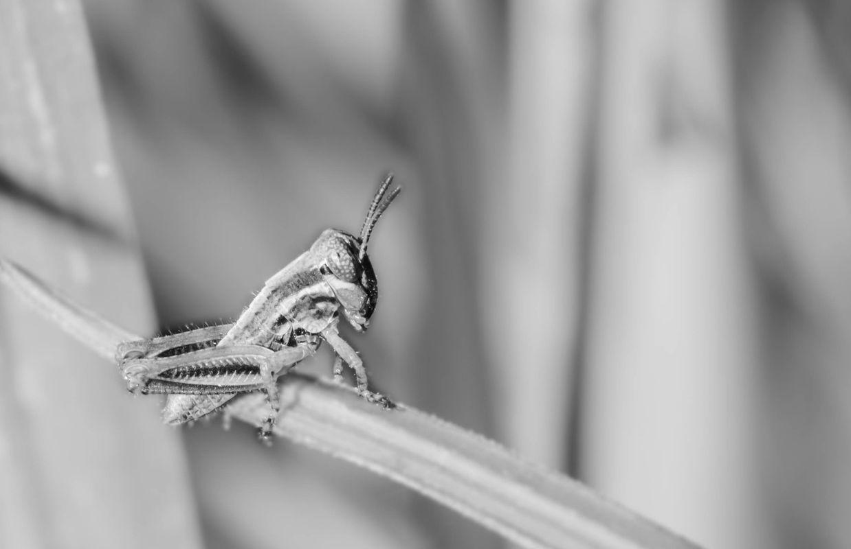 Grasshopper season - Black & White
