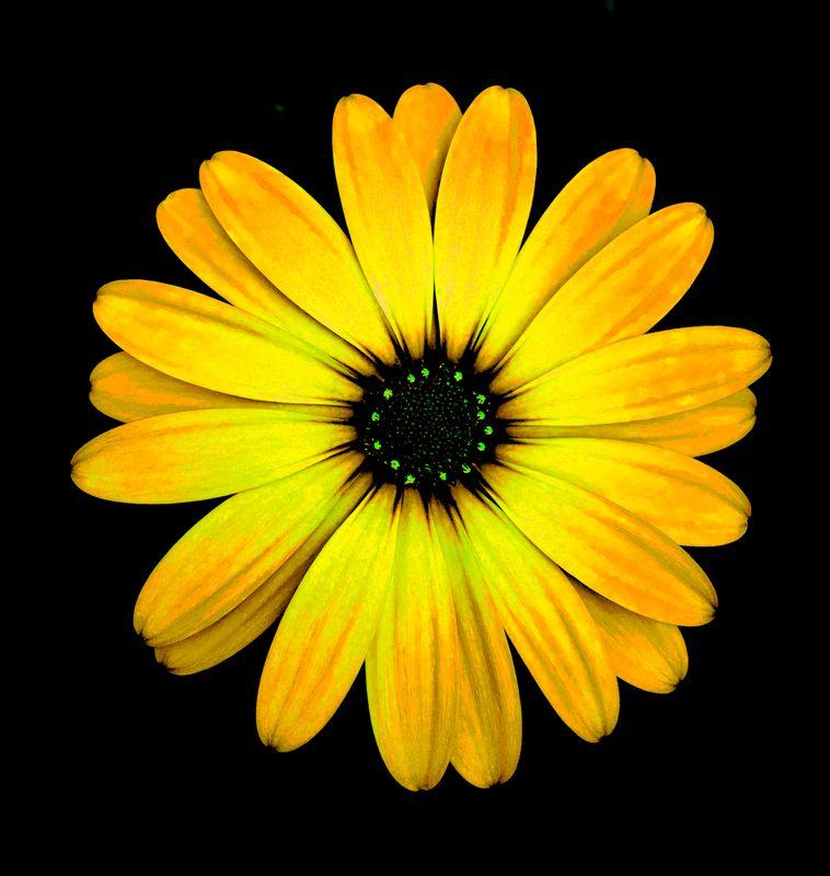 Yellow Flower Black Background 3