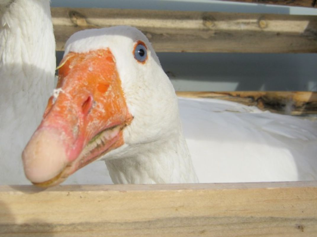 Goose at Auction