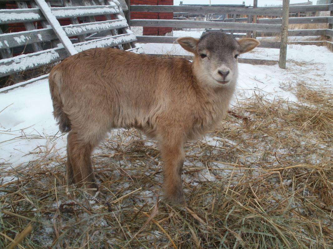 Young Ram Lamb