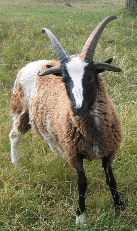 Jacob Ram Lamb