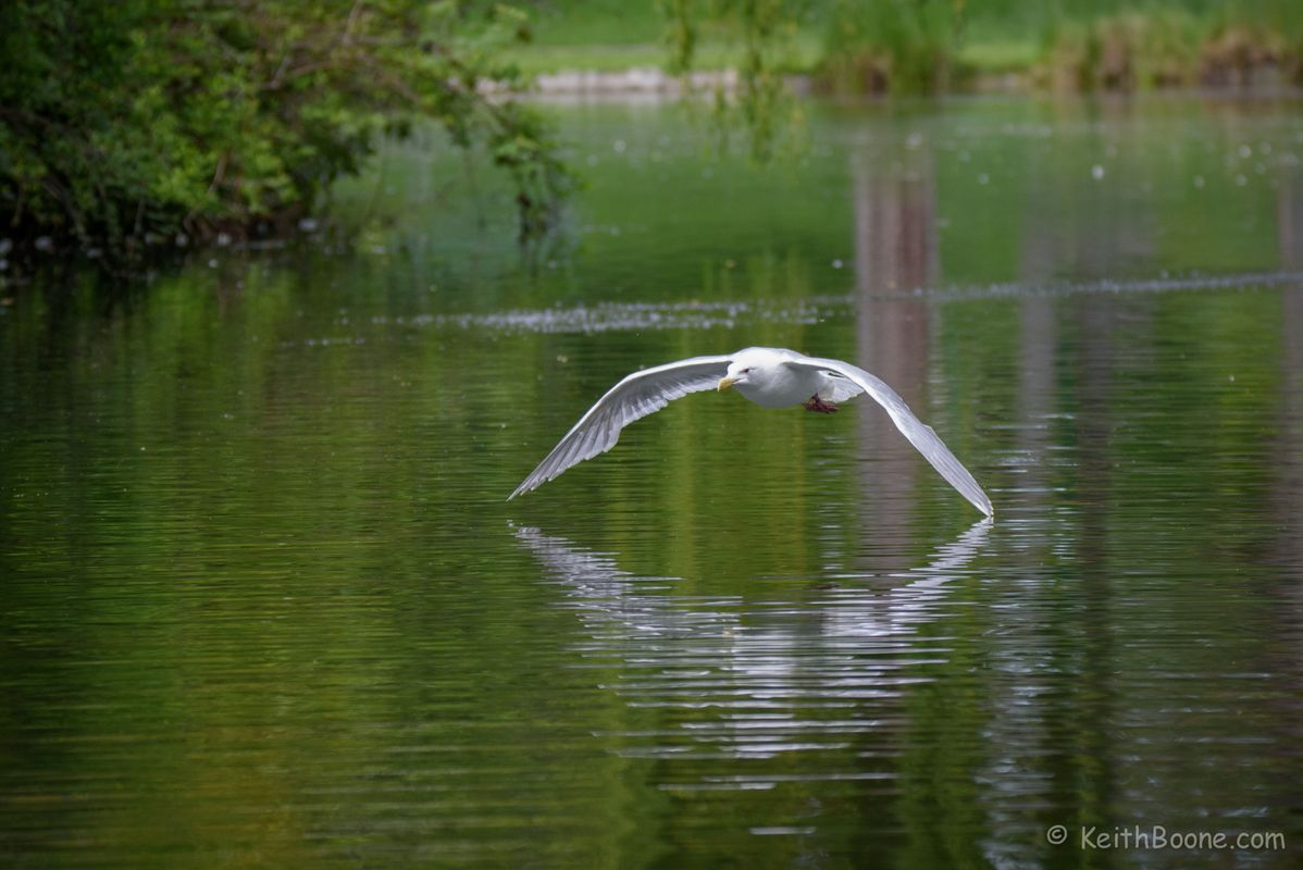 Seagull skimming the water