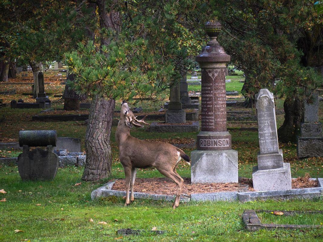 Deer In The Cemetery