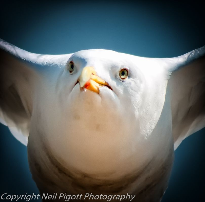 Gull close up in flight