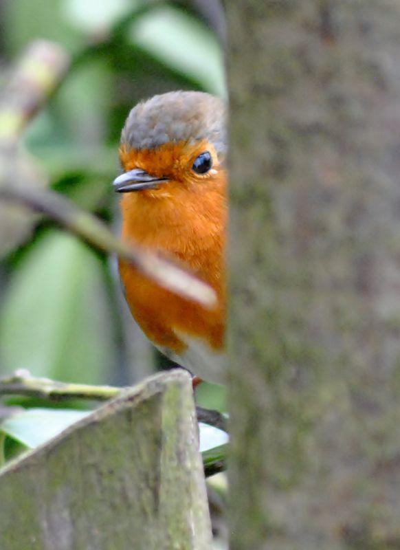 Playful robin