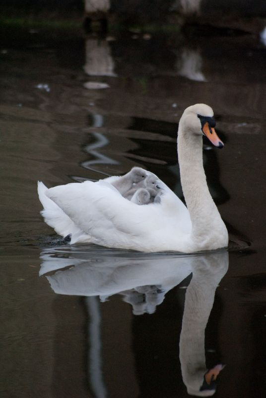 Swan carrying cygnets on the canal