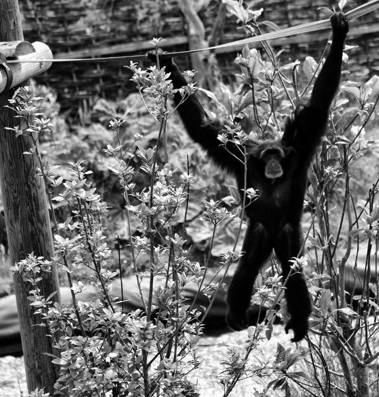 Hanging ape