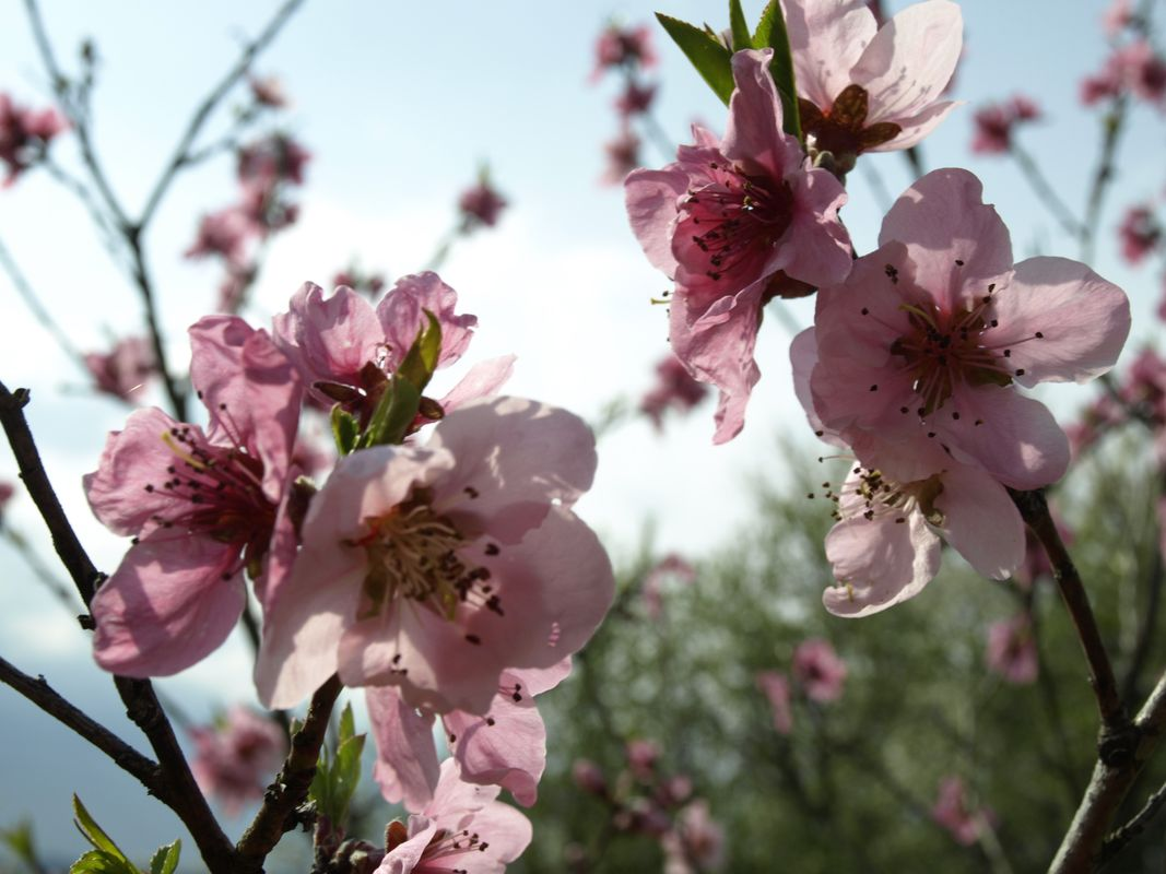 Pink blossoms #3