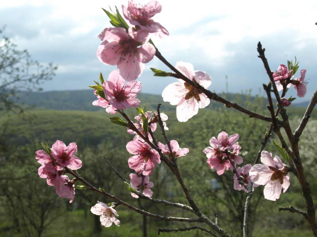 Pink blossoms #4