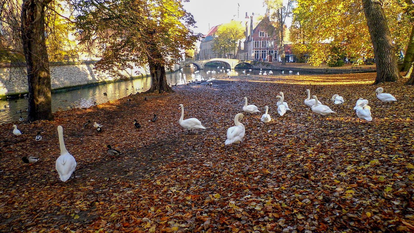 Riverside Swans, Bruges