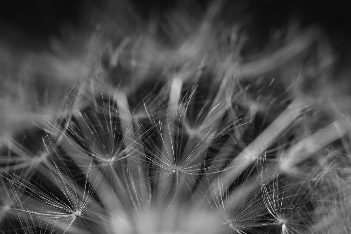 Two dandelions close up black and white