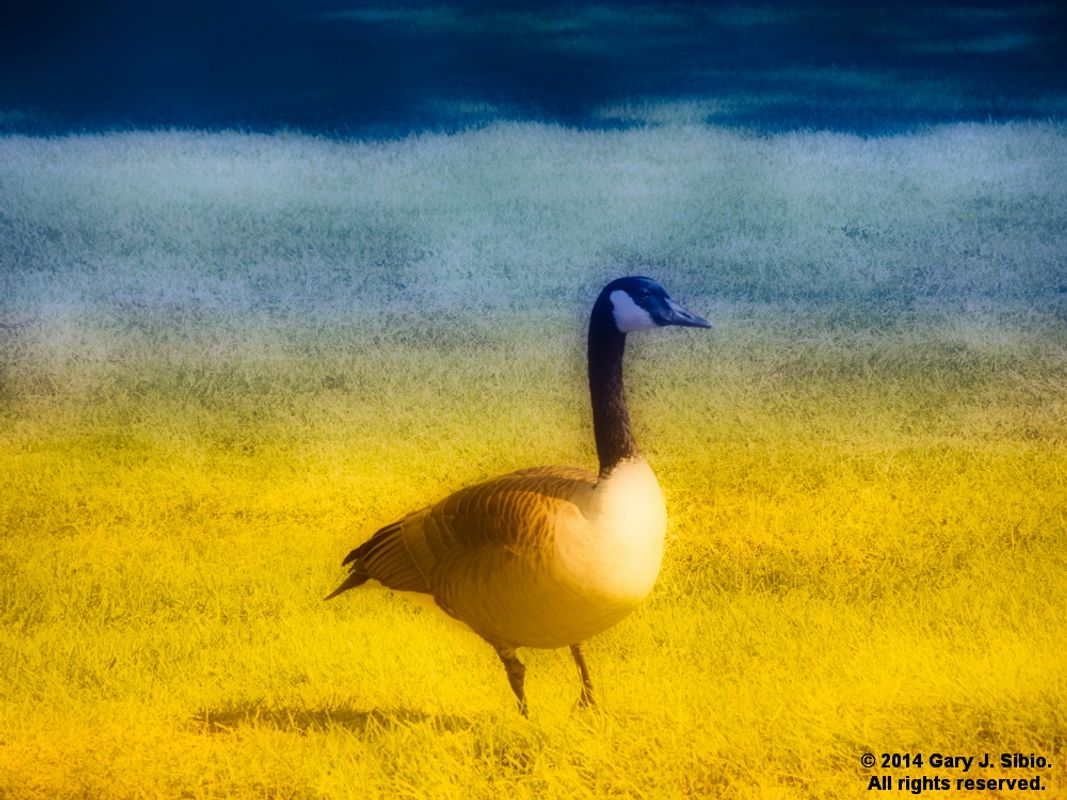 Canada Goose - 'Golden Day' Version (2014-09-19 10-05-15_01)