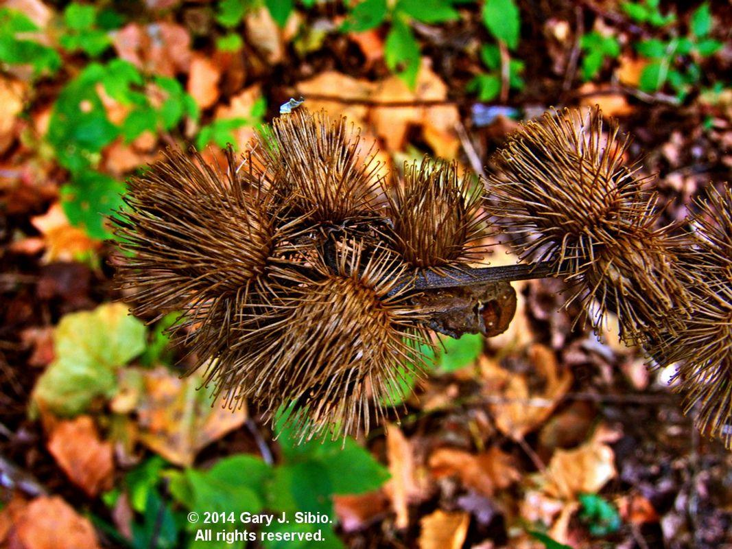 Dried Thistle in the Fall, Axehead Lake, Park Ridge, Illinois (2014-10-11 11-14-15_01)