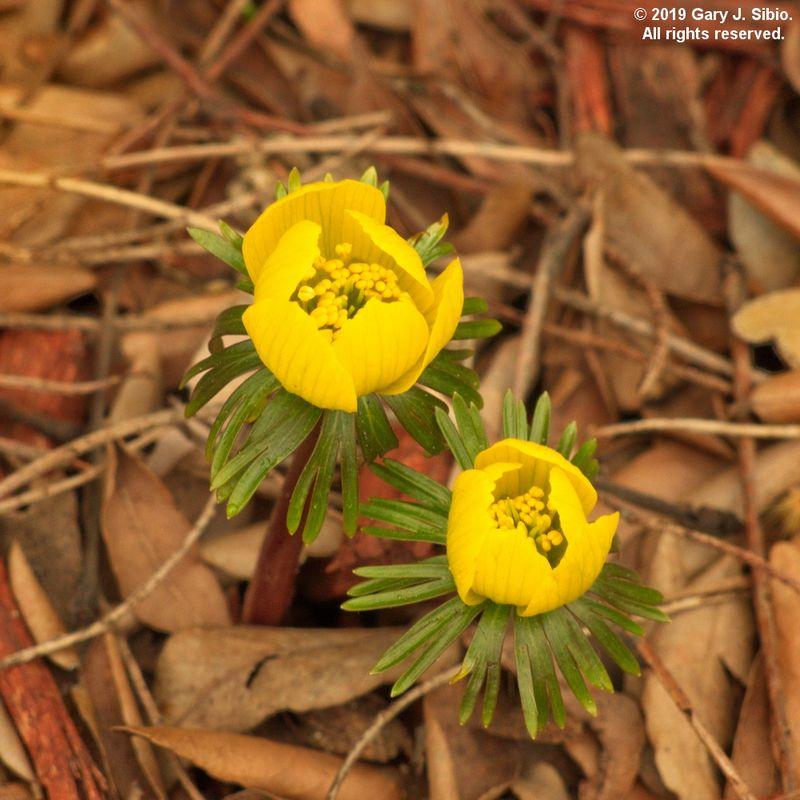 Winter Aconite (Eranthis) in a Garden in Chicago (2019-04-02 15-20-14_01)
