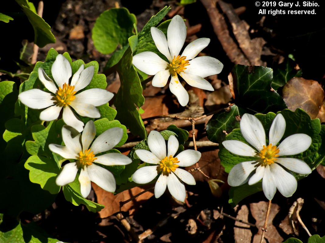 Bloodroot, A Spring Wildflower Found in Many Chicago Gardens (2019-04-16 13-22-15a)