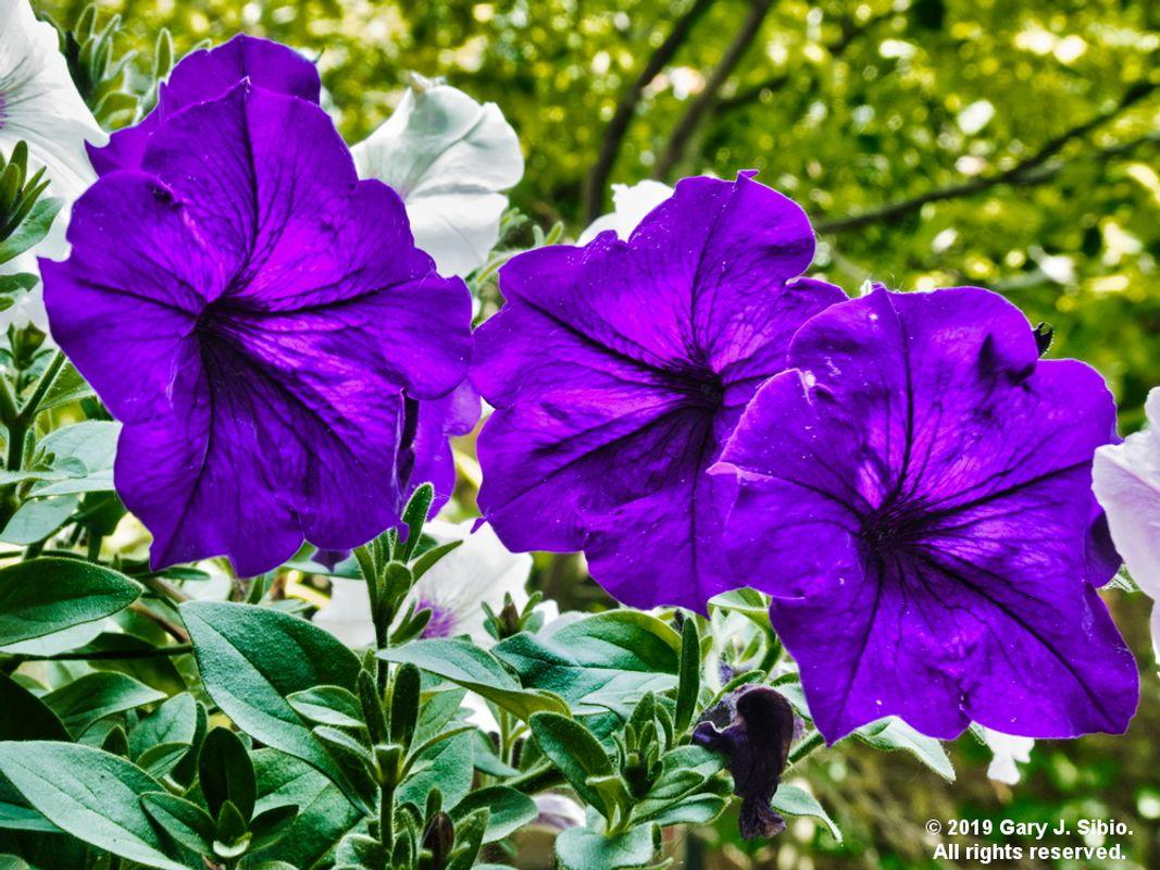 Blue Petunias (2019-06-03 13-13-00_01)