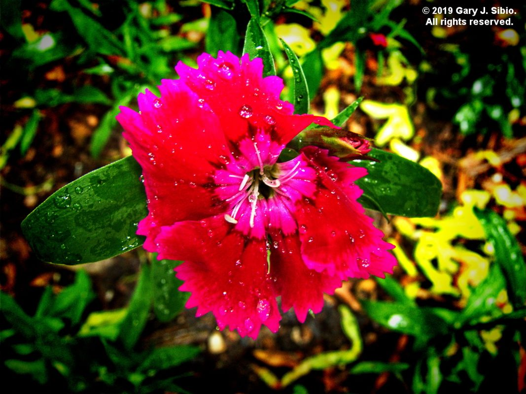 Dianthus After a Thunderstorm (2019-06-04 12-31-24_01)