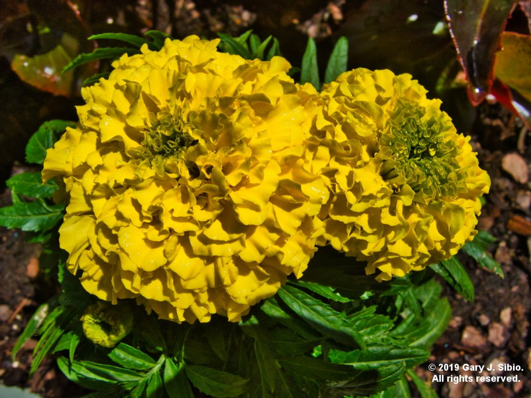 Mexican Marigolds (2019-06-11 14-14-45_01)