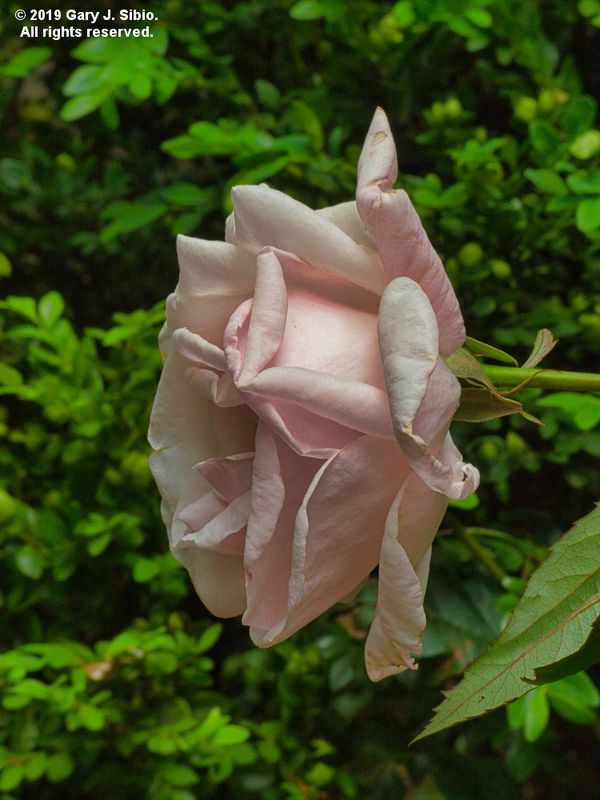 Rose in My Neighbor's Front Yard (2019-06-11 18-01-23_01)