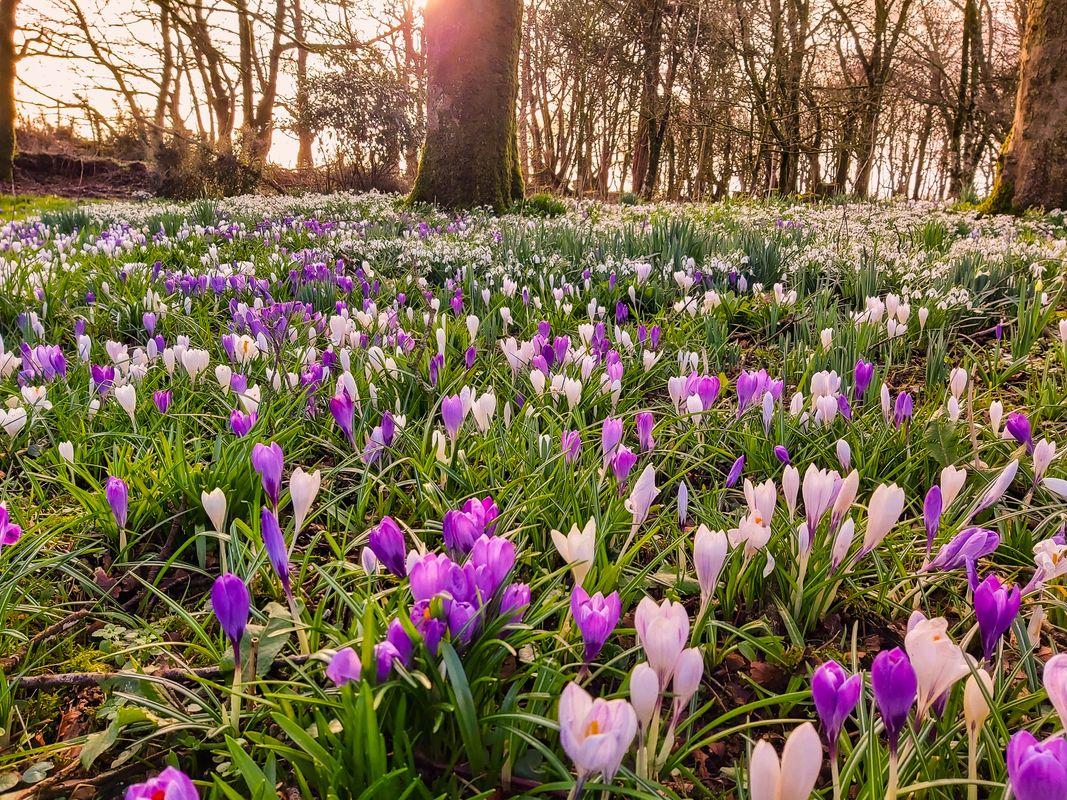 CARPET OF SPRING FLOWERS DEVON