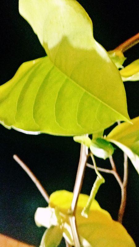 Folha Amarela ~ Yellow Leaf