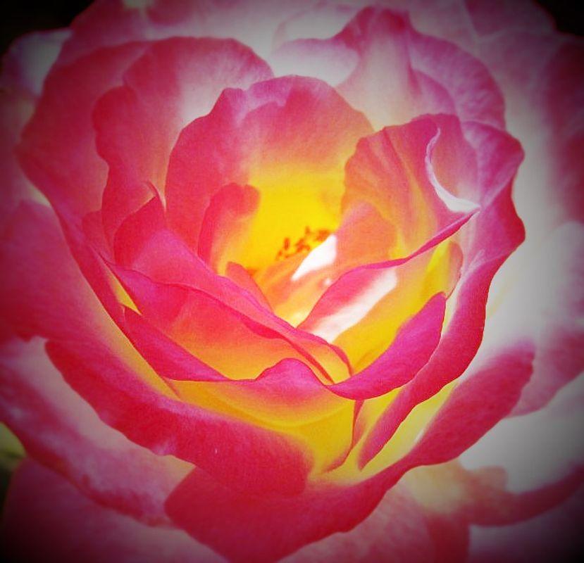 My Hybrid Rose