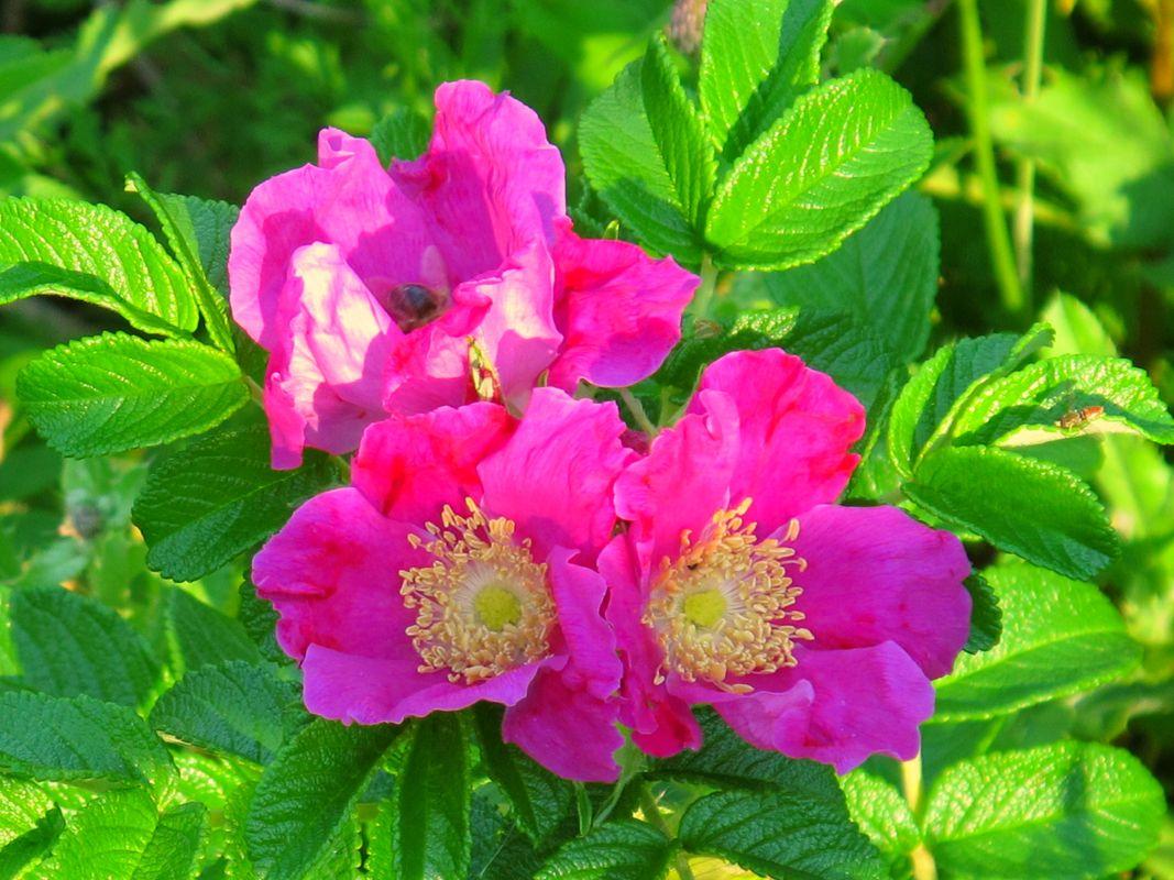 Beautiful Beach Roses