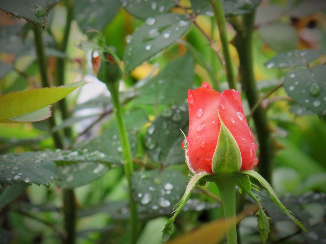 A Rosebud in the Rain