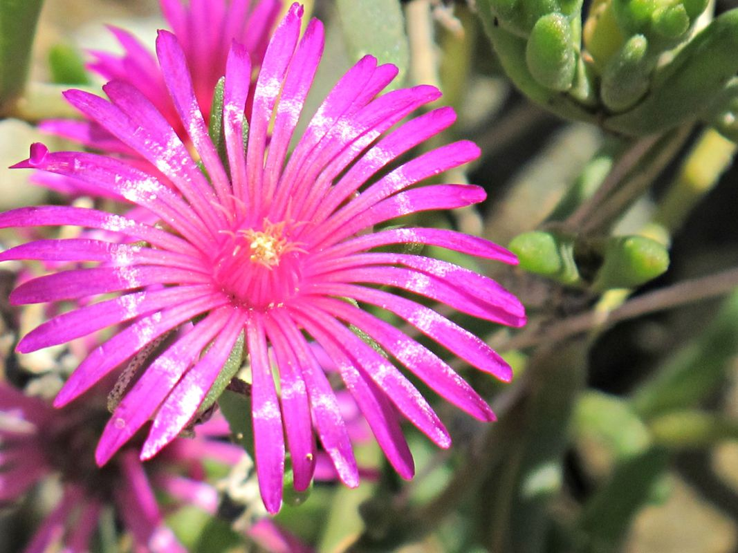 Pink Flower of Western Pennsylvania