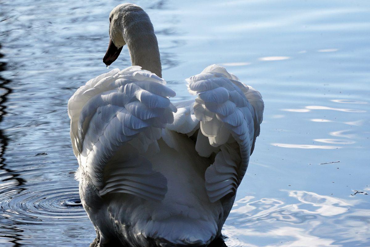 Back Swan