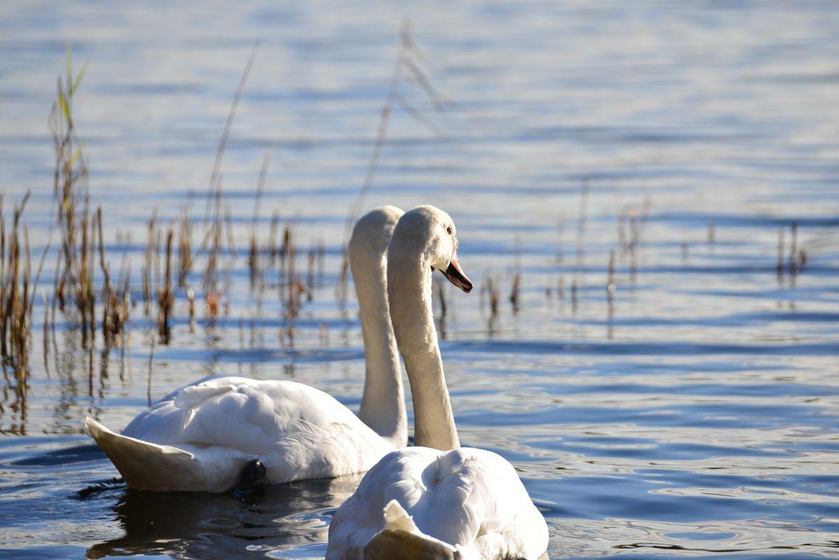 Majestic swans