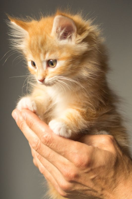 Wonderful little kitten in hands