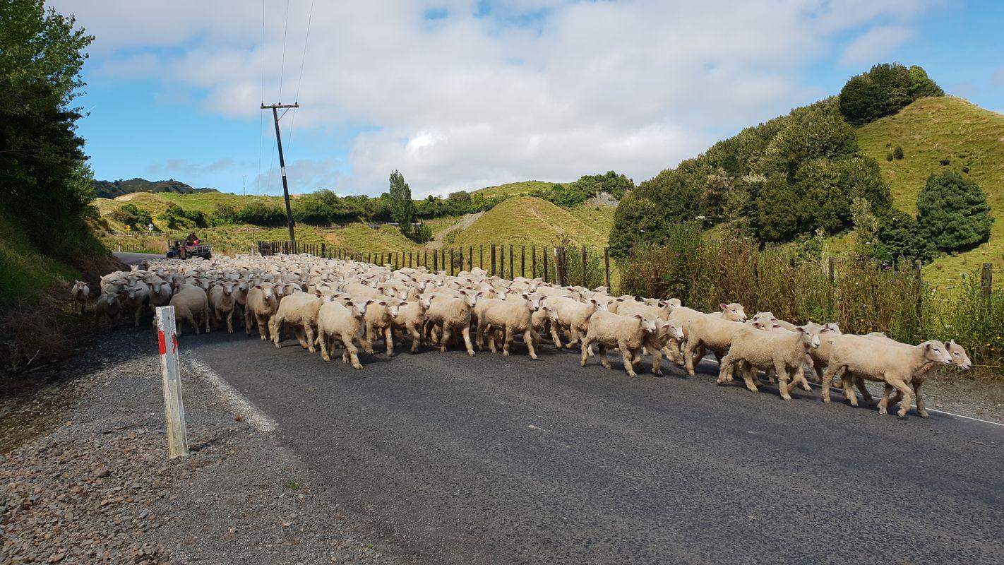 Heard of sheep in New Zealand