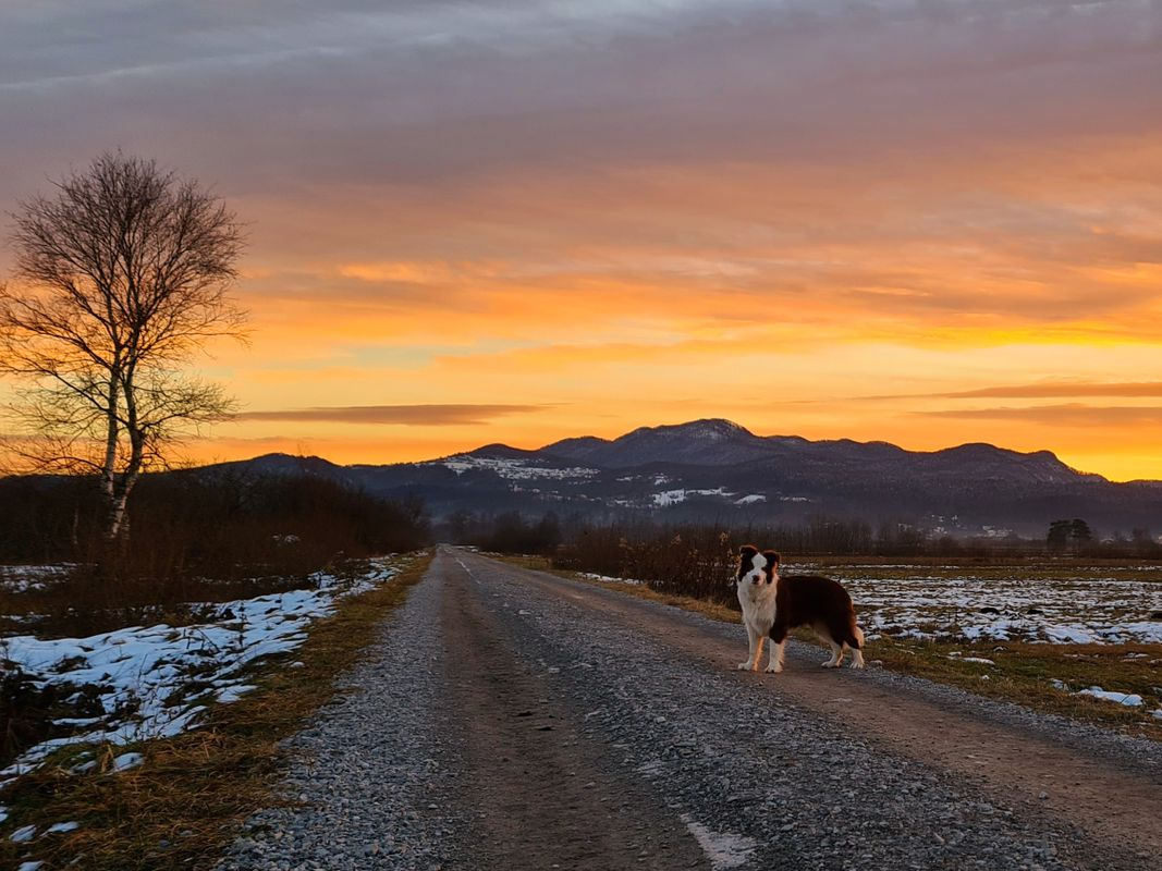 Chocholate-White Border Collie dog