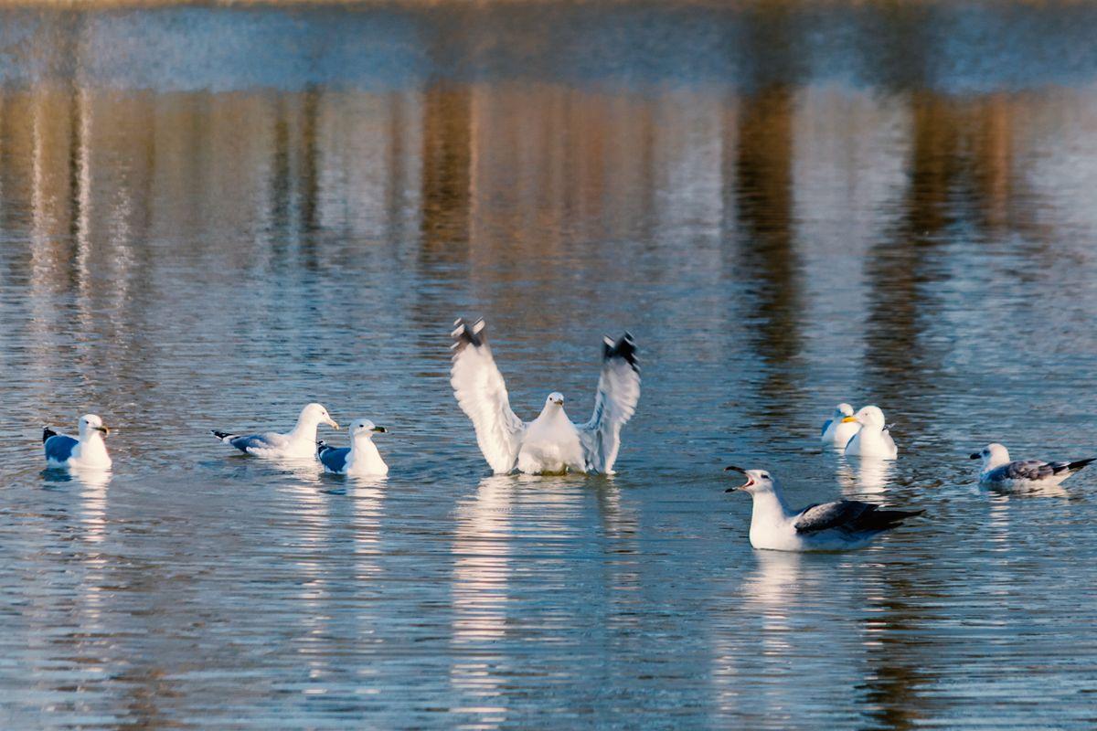 Seagulls' concert