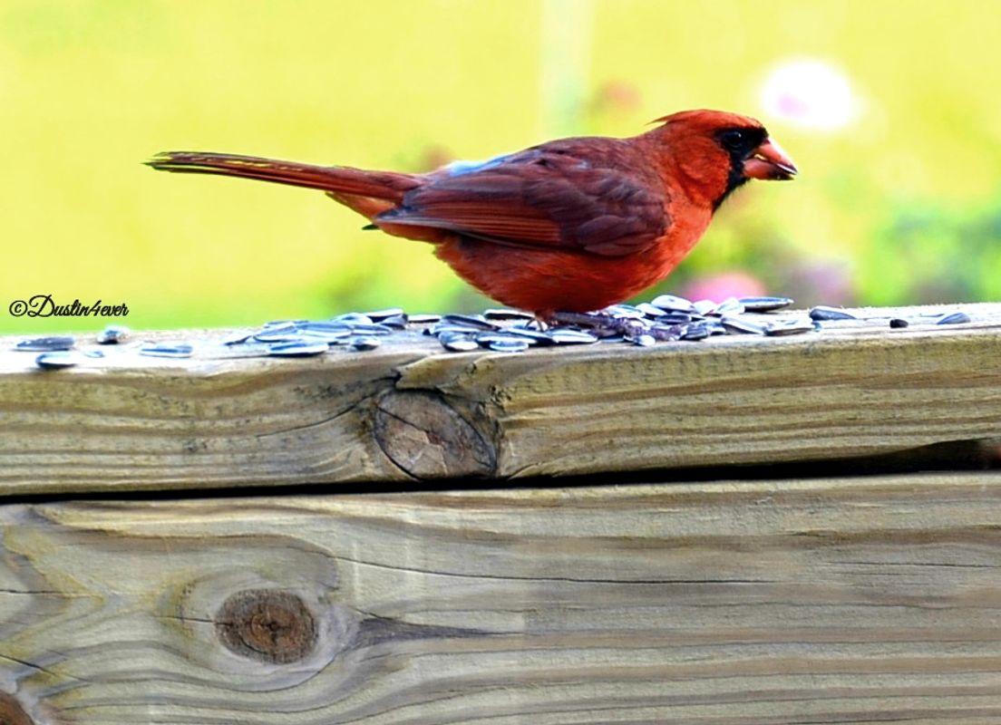 Male Cardinal on Deck