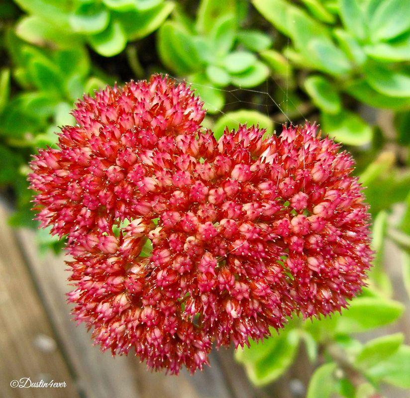 Heart of Sedum