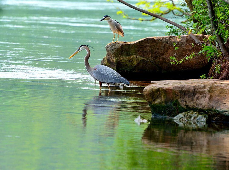 Great-blue-herons