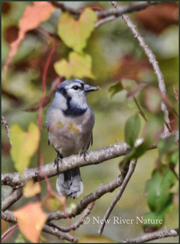 Blue jay surrounded by Autumn