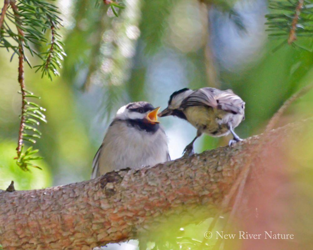 Carolina chickadee feeding