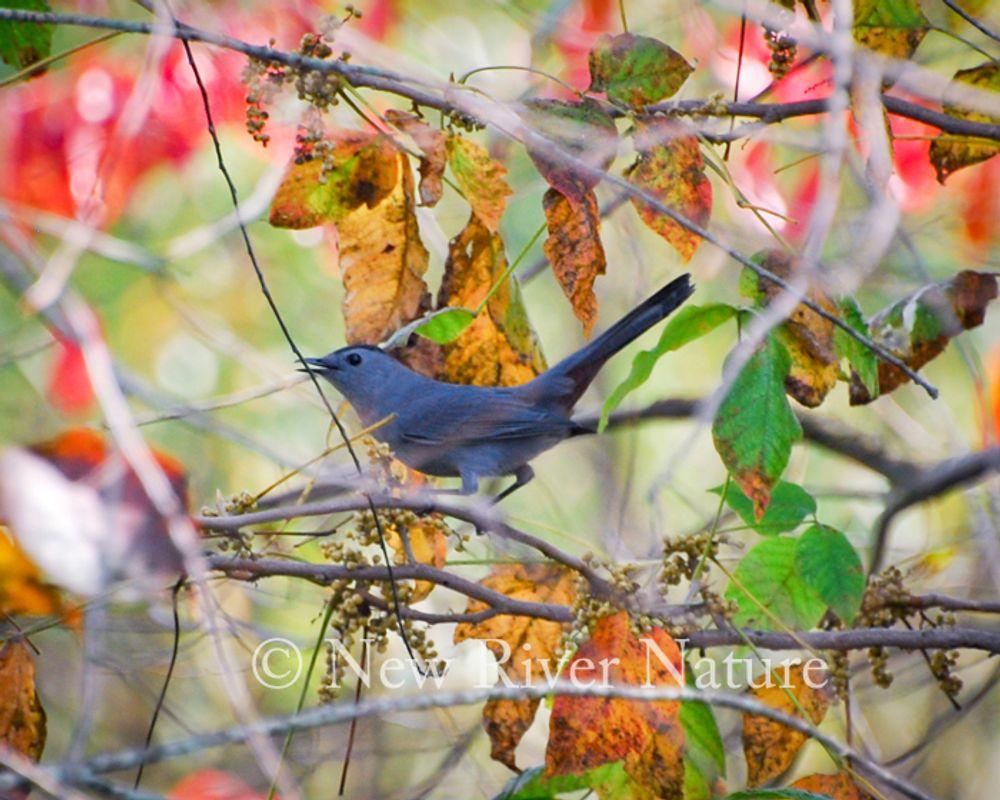 Gray catbird in Autumn Leaves