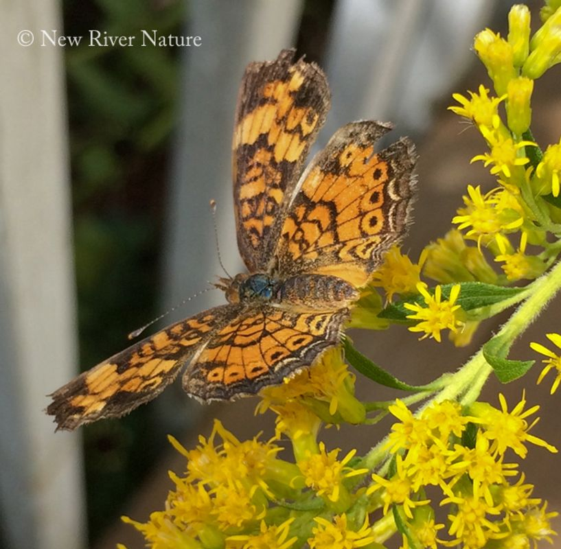 On The Goldenrod