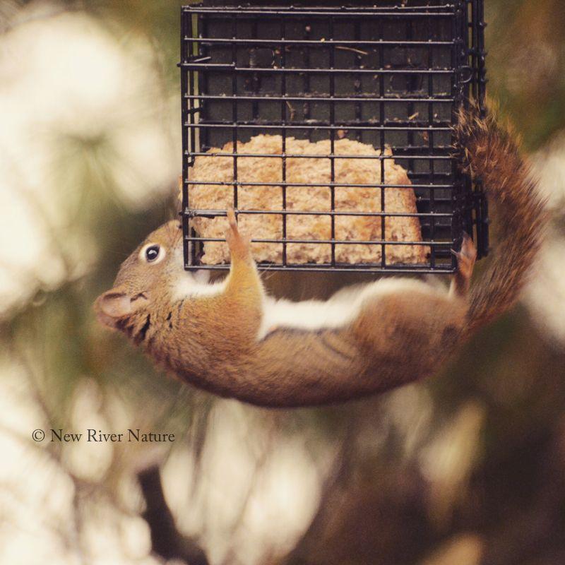 Squirrel at suet