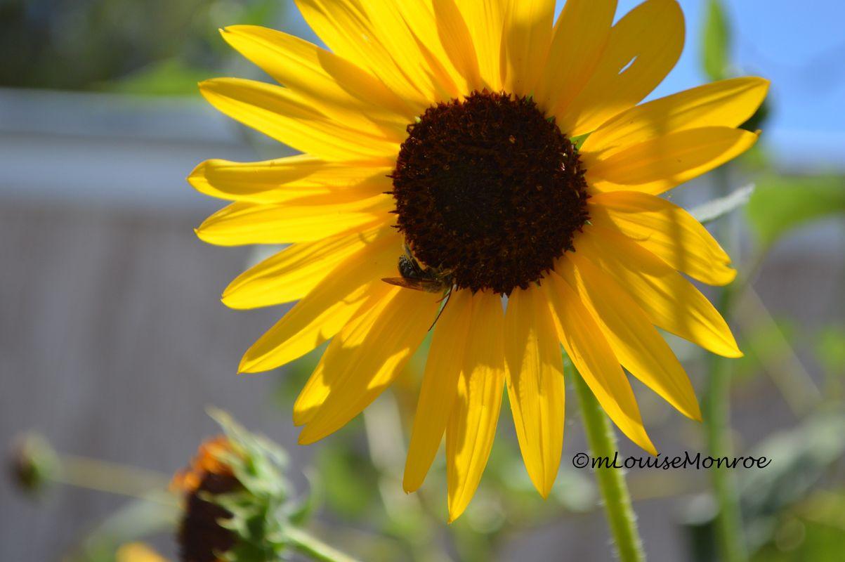 Black Eyed Susan & a bee