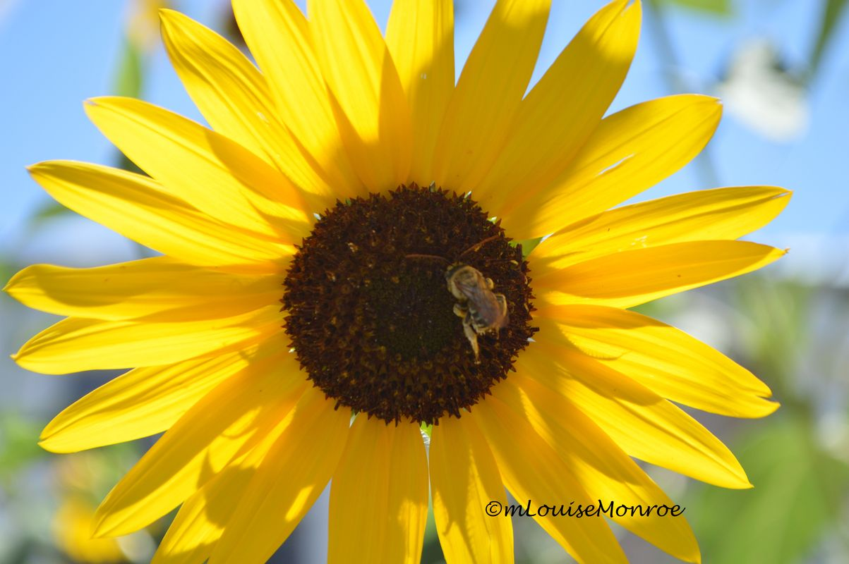 Black Eyed Susan with a busy bee